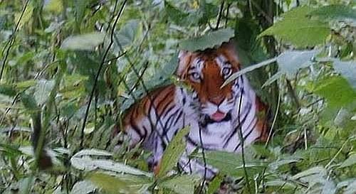 tigrechinesfake21hj.jpg