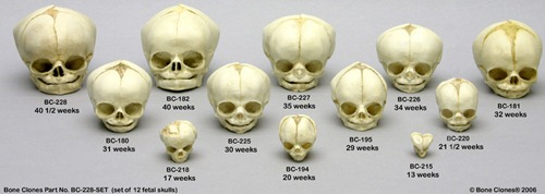fetal skull set of 12 ages 13 to 40 thumb fotos de alienigenas