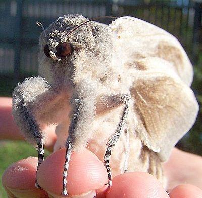 mariposagigante
